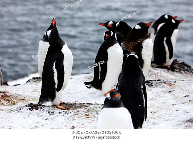 gentoo penguin calling in colony of penguins on hannah point Antarctica