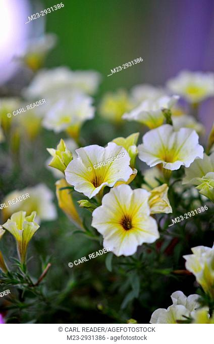 A depiction of white petunias in soft-focus, Pennsylvania, USA