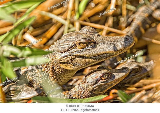 Juvenile American alligators, Everglades National Park, Florida