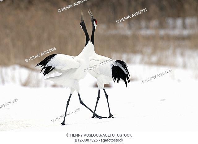 Japanese crane, Red-crowned crane (Grus japonensis) pair dancing, Japan