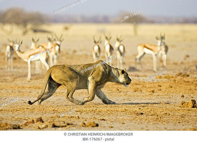 Lion, Lioness (Panthera leo), springbok (Antidorcas marsupialis), Nxai Pan, Makgadikgadi Pan National Park, Botswana, Africa