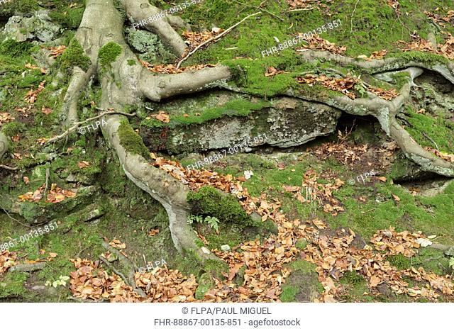 Exposed tree roots of Common Beech (Fagus sylvatica), Hebden Dale, West Yorkshire, England, October