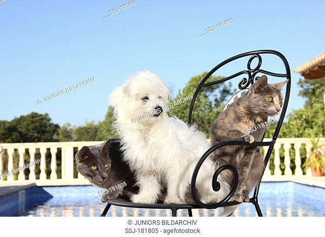 Domestic cat. Two young cats (3 month old) and a Maltese sitting on a garden chair next to a swimming pool