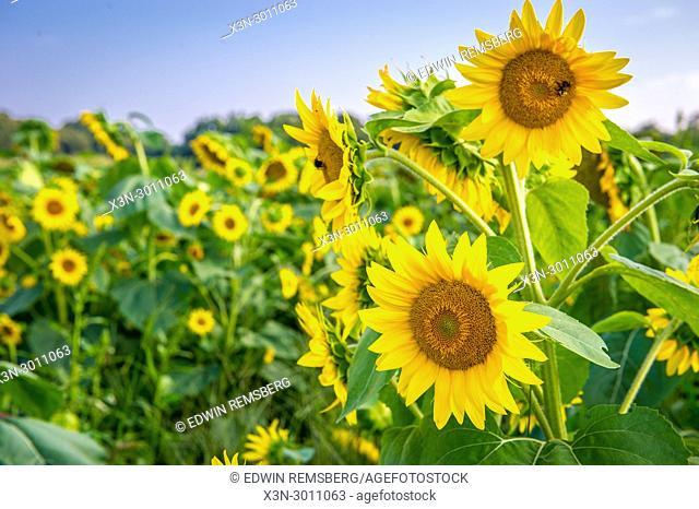 Sunflower field in Keedysville, Maryland, USA