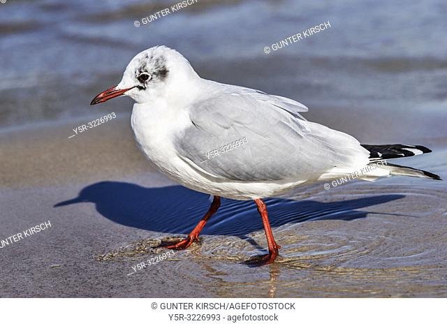 Detail view of a Black-headed gull in winter plumage at the beach of the Baltic Sea in Kolobrzeg, West Pomeranian, Poland, Europe