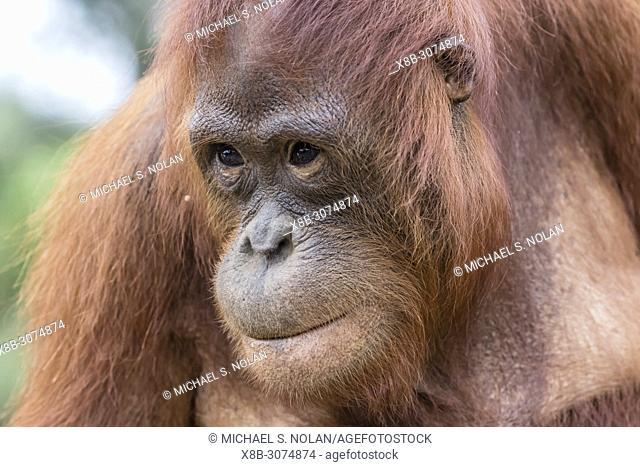 Adult Bornean orangutan, Pongo pygmaeus, Buluh Kecil River, Borneo, Indonesia