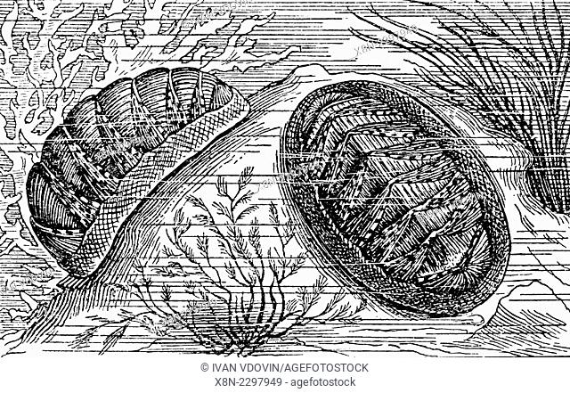 Chiton magnificus, illustration from Soviet encyclopedia, 1927