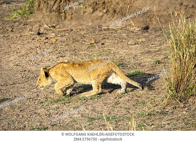 A lion cub (Panthera leo) is exploring its surroundings in the Masai Mara National Reserve in Kenya