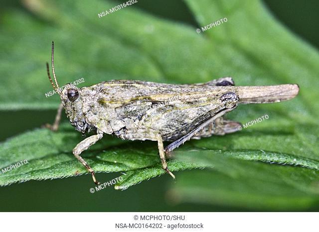 Slender Ground-hopper Tetrix subulata