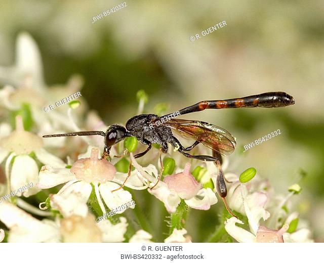 Gasteruptid wasps (Gasteruption assectator), Male foraging on Hogweed (Heracleum sphondylium), Germany