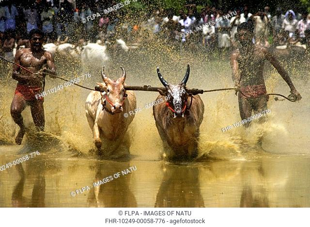 Domestic Cattle, Zebu and handlers in oxen race, post monsoon sporting activity, in water of paddy field, Kerala, India
