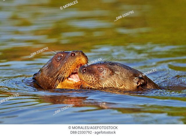 South America,Brazil,Mato Grosso,Pantanal area,Giant Otter (Pteronura brasiliensis)