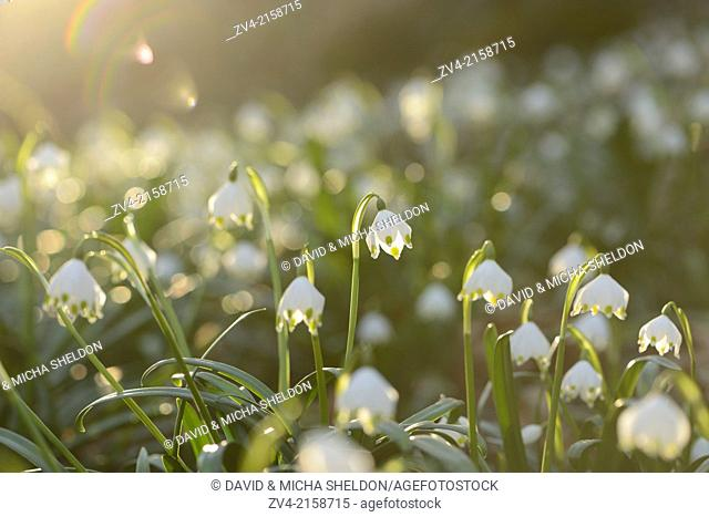 Landscape of Spring Snowflake (Leucojum vernum) blossoms in a forest on a sunny evening in spring