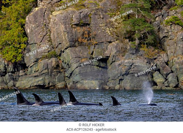Northern resident orca whale family pod (A 34's, killer whales, Orcinus orca) in a resting line along the Hanson island shoreline, off northern Vancouver Island