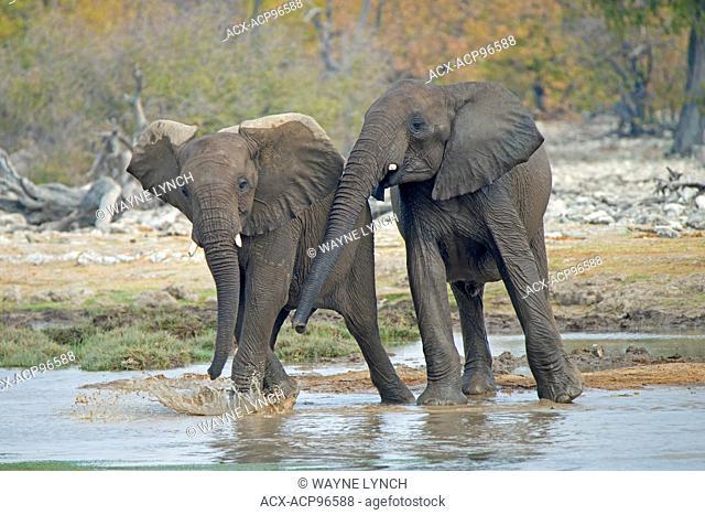 Juvenile African elephants (Loxodonta africana) playing, Etosha National Park, Namibia, southern Africa