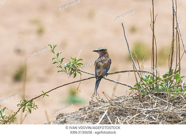 Broad-billed Roller (Eurystomus glaucurus), Tanzania, East Africa
