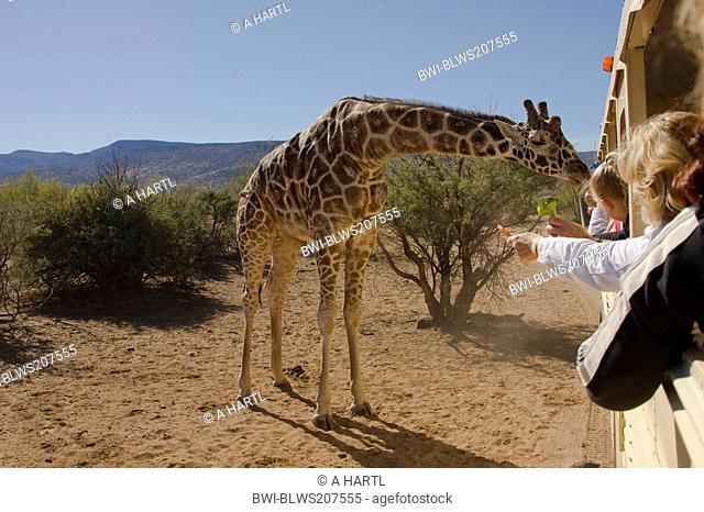 giraffe Giraffa camelopardalis, is fed by visitors of a safari park