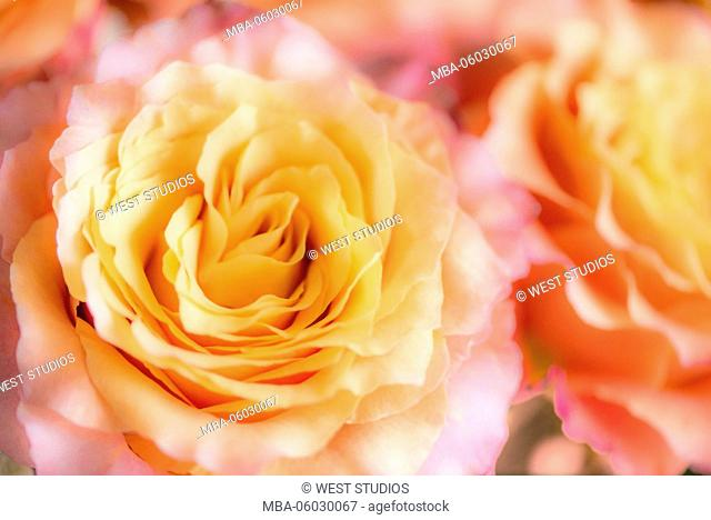 Rose, yellow-orange, 'Tiramisu', lat.: Rose