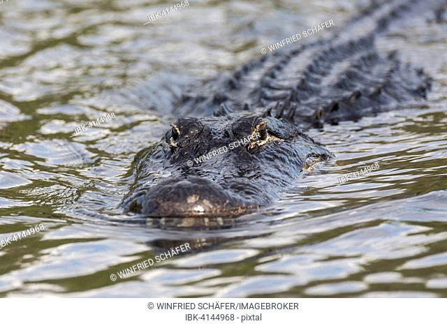 American alligator (Alligator mississippiensis) swimming in water, Everglades National Park, Florida, USA