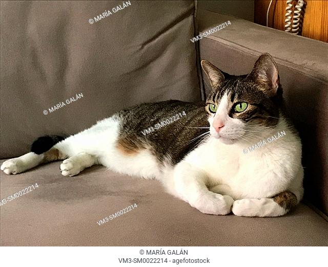 Tabby and white cat lying on a sofa