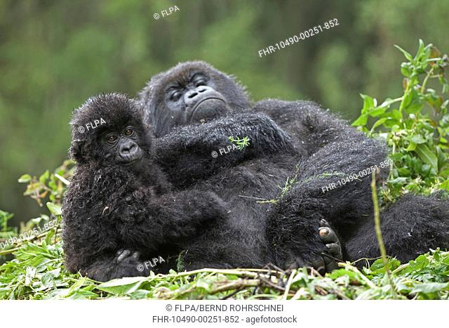 Mountain Gorilla Gorilla beringei beringei adult female with young, resting on nest, Volcanoes N P , Virunga Mountains, Rwanda