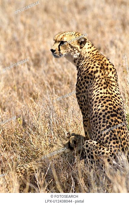 Close up back view of female cheetah sitting in long dry grass with cub nursing, Lewa Downs, Kenya, East Africa
