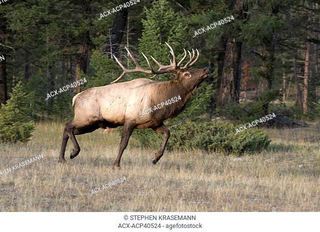 Mature wild bull Elk Cervus elaphus, Alberta, Canada