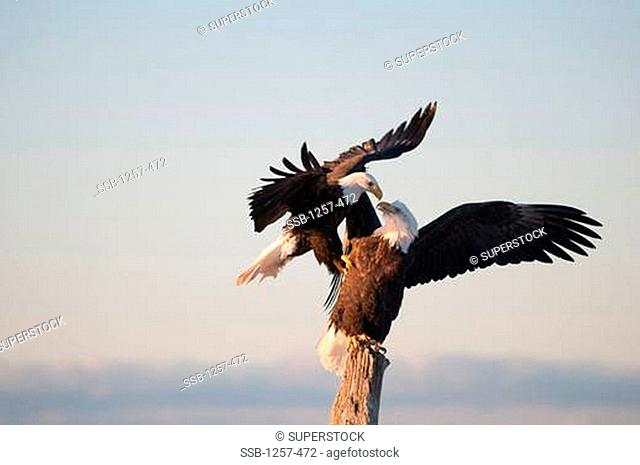 Close-up of Bald eagles Haliaeetus leucocephalus fighting over position on a wooden post