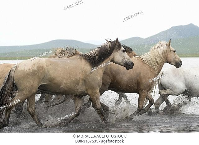 China, Inner Mongolia, Hebei Province, Zhangjiakou, Bashang Grassland, horses running in a group in the water