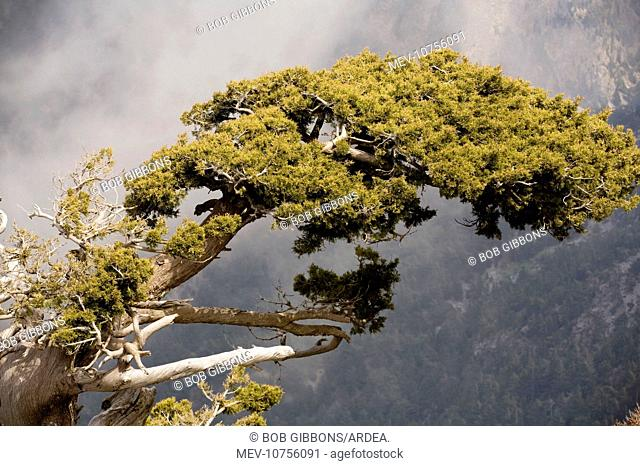Ancient cypresses (Cupressus sempervirens)