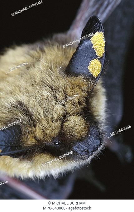Western Long-eared Myotis Myotis evotis bat, adult with ear mites, Deschutes National Forest, Oregon