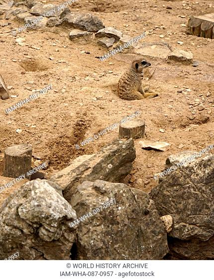 The meerkat or suricate (Suricata suricatta). A small carnivoran belonging to the mongoose family (Herpestidae). It is the only member of the genus Suricata