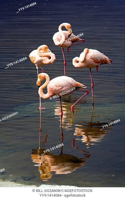 Greater Flamingos - Isabela Island - Galapagos Islands, Ecuador