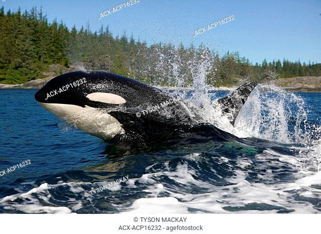 Killer whale surfacing with a splash, Port McNeill, British Columbia, Canada