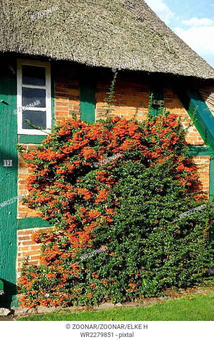 pyracantha in a farm house