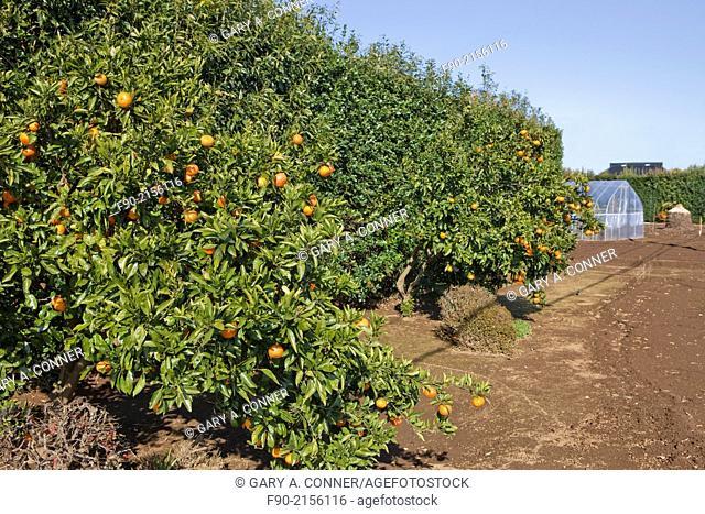 Tangerine grove in Chiba, Japan