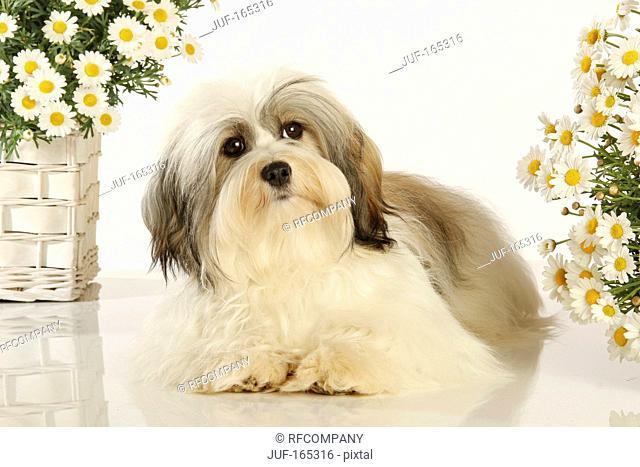 Havanese dog - lying