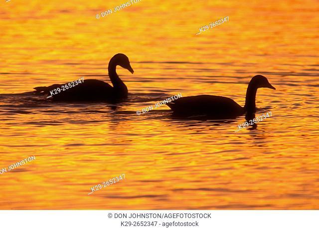 Canada goose (Branta canadensis) on open water during spring break-up, Sudbury, Ontario, Canada