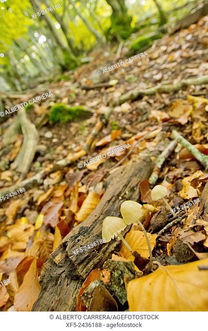 Mushroom, Hayedo de la Pedrosa, Beech Forest, Riofrío de Riaza, Sierra de Ayllón, Segovia, Castilla y León, Spain, Europe