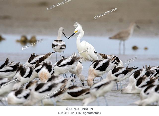 Snowy egret (Egretta thula) foraging for food in shallows with flock of American avocet (Recurvirostra americana), Rollover Pass, Bolivar Penninsula, Texas, USA