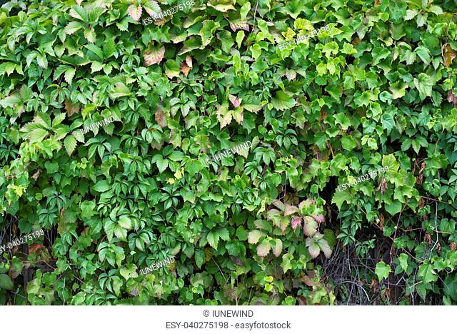 Bush fence hedge, green texture of vine leaves wall