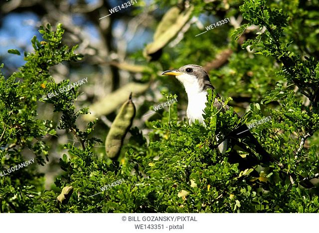 Yellow-billed Cuckoo (Coccyzus americanus) - Camp Lula Sams - Brownsville, Texas, USA