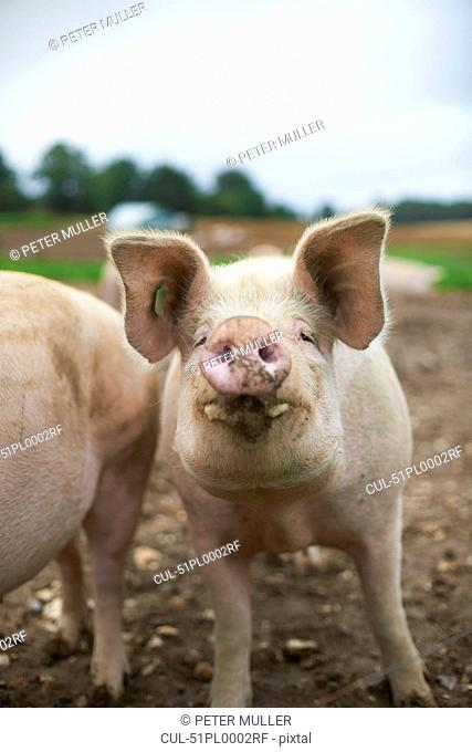Close up of pigs snout