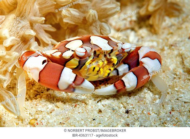 Harlequin crab (Lissocarcinus laevis) on sand beneath anemone, Great Barrier Reef, Queensland, Cairns, Pacific Ocean, Australia