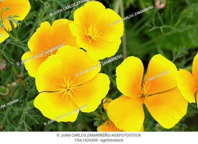 The Eschscholzia californica wonderful flowers, naturalized from a garden at Mogarraz, Las Batuecas Sierra de Francia Natural Park, Salamanca, Castilla y Leon