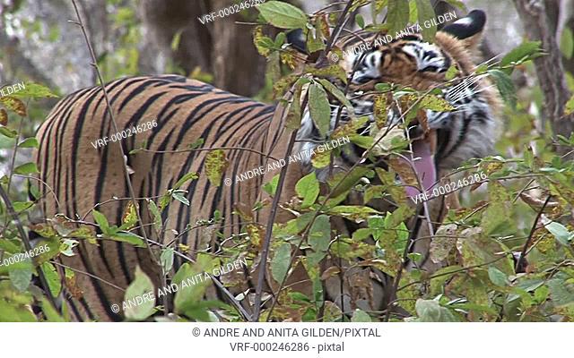 Bengal Tiger (Panthera tigris tigris )flaming and smelling bushes, Ranthambhore N.P. India