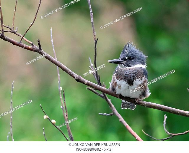 Belted Kingfisher (Megaceryle alcyon), resting on branch, Bird Creek, Anchorage, Alaska, United States, North America