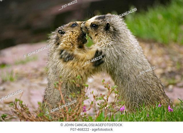 Hoary Marmots Wrestling - (Marmota caligata) - Montana - Found in Alaska south to Washington-northern Oregon and most of Montana and parts of Idaho - Lives on...