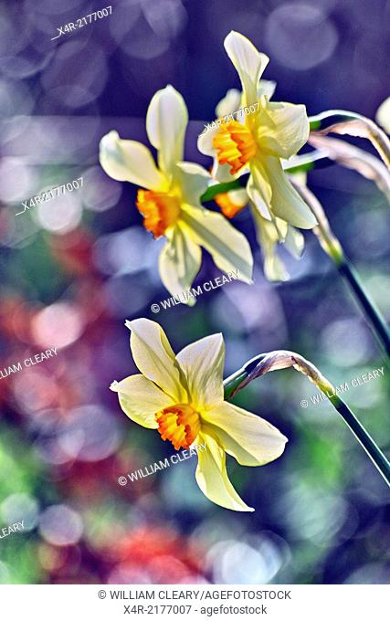 Daffodils or narcissus