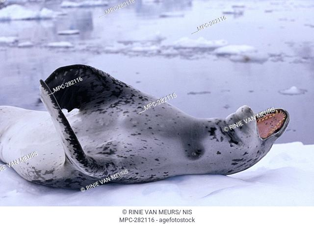 Leopard Seal Hydrurga leptonyx, laying on back, vocalizing, Antarctica
